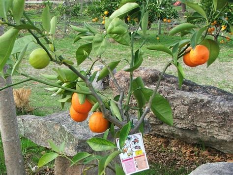 fruit salad trees fruit salad tree heads to field days glen innes examiner