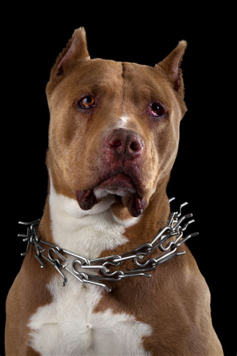 banned breeds  dog fights  uae farms emirates