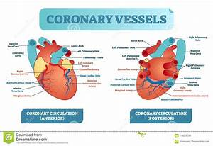 Coronary Vessels Anatomical Health Care Vector
