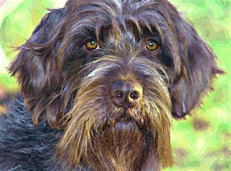 wirehaired pointing griffon shed 17 best images about korthals griffon on
