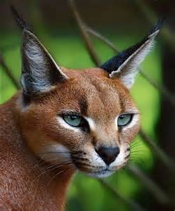caracal cat the caracal is a fiercely territorial medium sized cat