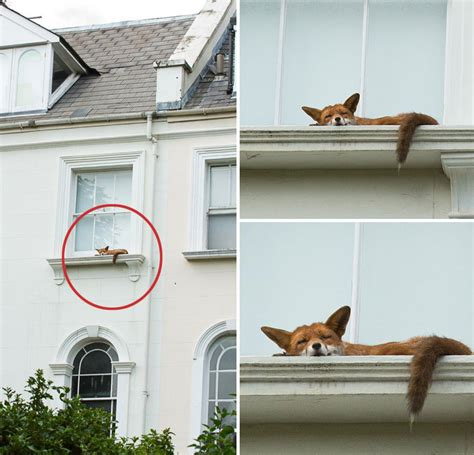 Window With Ledge by Fox Spotted Napping On Second Story Window Ledge In