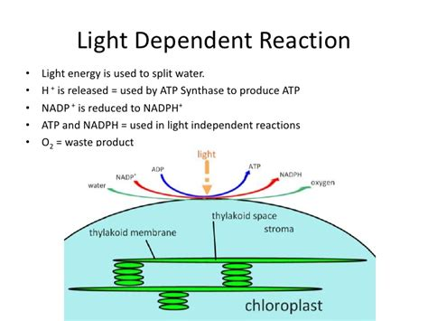dependent definition how can you describe the light dependent reactions Light