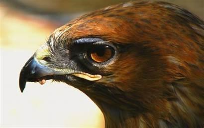 Hawk Wallpapers Eye Desktop Resolutions