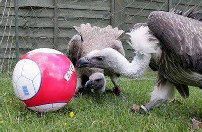animals  ready  play football animals zone