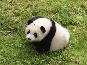 Baby Panda Bear Cubs