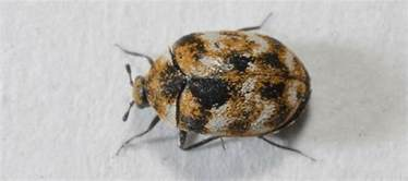 Carpet Beetles Everywhere by What Causes Carpet Beetles Abc Blog
