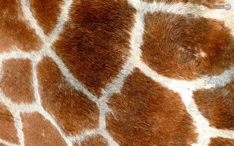 Animal Print Wallpaper Giraffe - giraffe animal print wallpaper