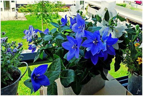 Balkonblumen - Ballonblume Foto & Bild   sommer, blau ...