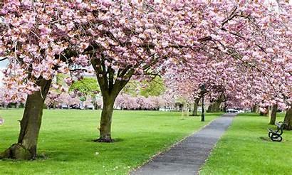 Blossom Cherry Tree Trees Desktop Backgrounds Spring