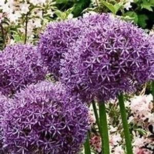 Allium Pflanzen Im Frühjahr : allium pflanzen allium pflege zierlauch pflege ~ Yasmunasinghe.com Haus und Dekorationen