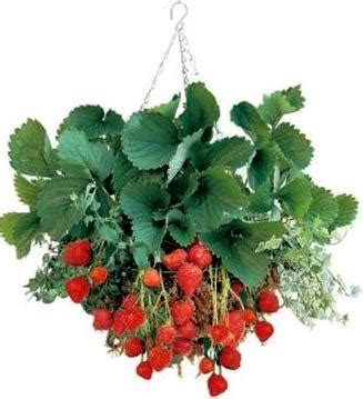 hanging strawberry planter grow strawberries in hanging baskets grow your own