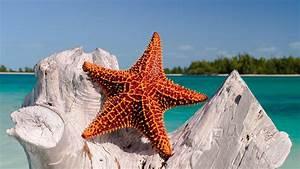 Starfish wallpapers