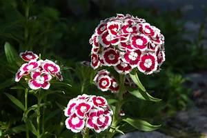 Oeillet De Poete : fleurs oeillets ~ Melissatoandfro.com Idées de Décoration