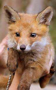 The 25+ best Baby Foxes ideas on Pinterest | Foxes, Cute ...
