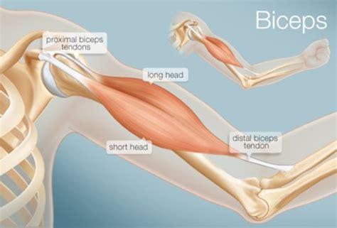 tendones  son anatomia funcion lesiones  mucho