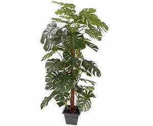 Zimmerpflanze Große Blätter : monstera deliciosa fensterblatt kletterpflanze 60 ~ Lizthompson.info Haus und Dekorationen