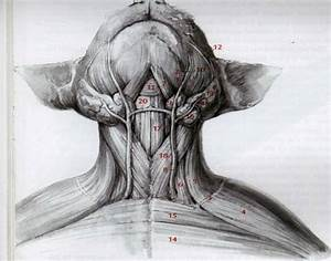 Superficial Muscles Of The Neck  Ventral View