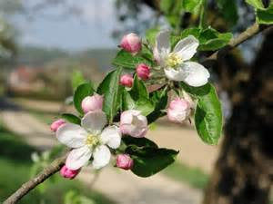 what trees white blossoms spring flowers and flowering trees french moments