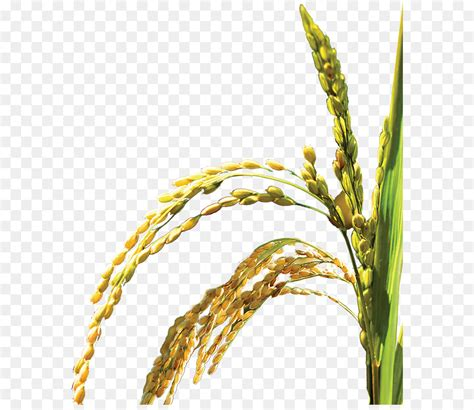 oryza sativa web template icon riceplantbumper