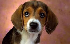 Cute puppy eyes #4212345, 1920x1200 | All For Desktop