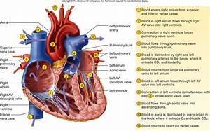 Blood Flow Through The Heart Pathophysiology