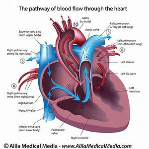 Labelled Diagram Of A Heart