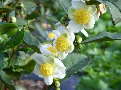 Çay Çiçeği  Tea Flower