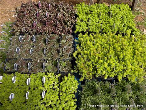 sedum ground cover 20 assorted sedum ground covers at least 6 varieties
