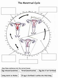 Reproduction  The Menstrual Cycle Worksheets