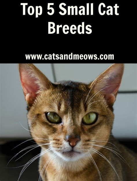 Top 5 Small Cat Breeds  Cats and Meows