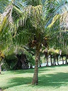 PlantFiles Pictures: Coconut Palm (Cocos nucifera) by ...