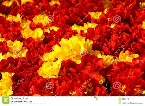 rode gele tulpen stock foto afbeelding bestaande uit