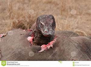 Komodo Dragons Eating Wild Buffalo Stock Photography ...