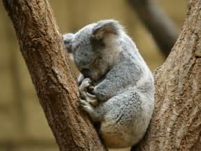 コアラ:コアラ : 東山動物園マニアック ...