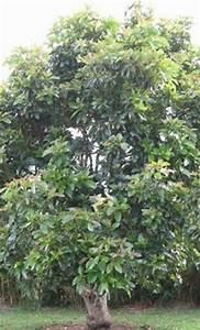 Avocado Baum Pflege : my avocado tree die gr ne investition ihr avocado baum ertr ge die in den himmel wachsen ~ Orissabook.com Haus und Dekorationen