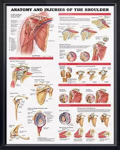 Anatomy And Injuries Of The Shoulder Chart 20x26