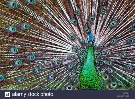 Creative Gold Peacock Large Wall Clock Metal Living Room: Green Iridescent Feather Stock Photos & Green Iridescent