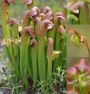 Pitcher plants in North Carolina - List