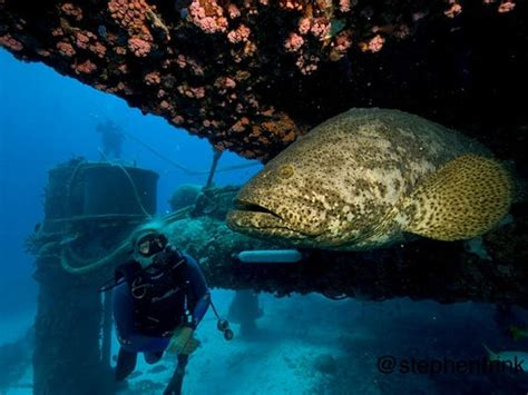 grouper goliath aquarius menu habitat fwc reef base ocean considers opening ellen prager press combines introduce readers humor issues adventure