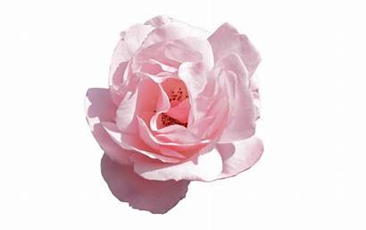 Transparent Flower Aesthetic Clipart Rose Flowers Webstockreview