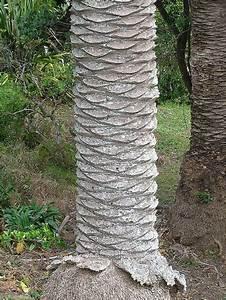 Scribal Terror  Fibonacci Spirals In A Palm Tree Trunk
