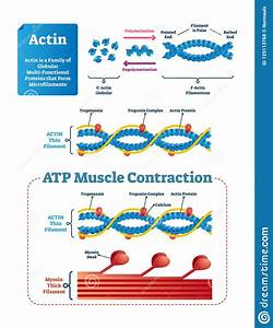 Actin Vector Illustration  Labeled Diagram With Protein
