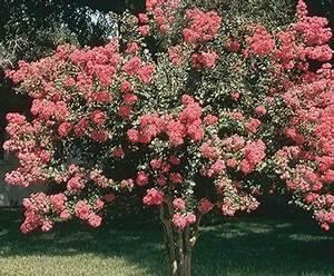 Arbuste Persistant Croissance Rapide : arbre d ombrage croissance rapide maison design mail ~ Premium-room.com Idées de Décoration