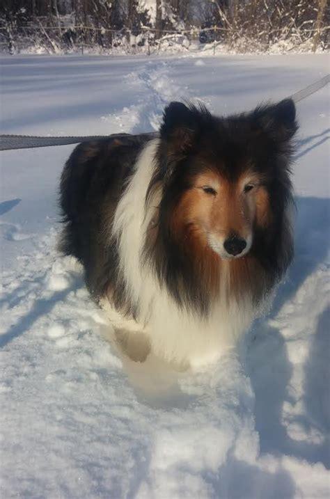 Sheltie Shedding In Winter by Sheltie Nation Archive Snow Shelties