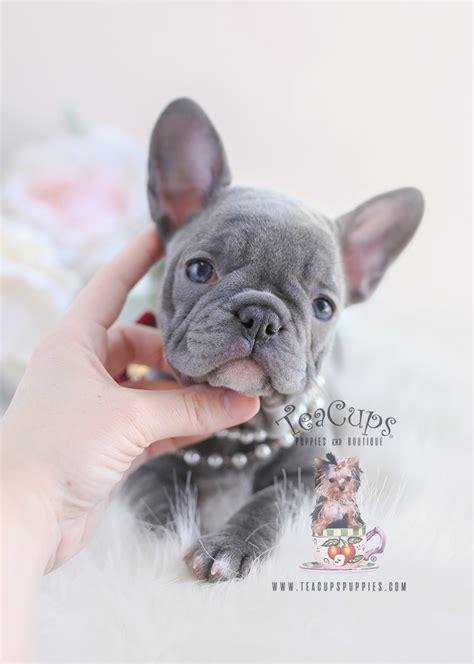teacup puppy breeds  sale teacup puppies boutique