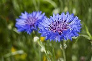Blue Cornflower   www.pixshark.com - Images Galleries With ...
