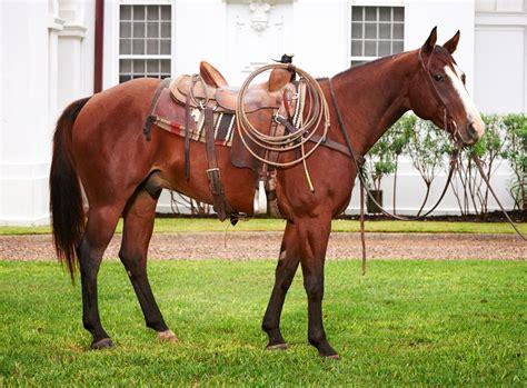 quarter ranch king horse horses front tack saddles moon american saddle pedigree every breed bandida badger