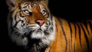 U0026 39 Shy  But Sassy  U0026 39  Tiger Suriya Euthanized At Phoenix Zoo