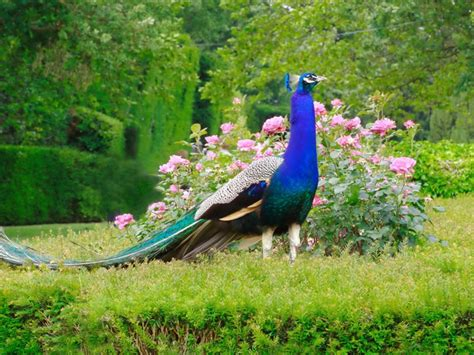 Animated Peacock Wallpapers - most beautiful peacock hd wallpapers hd 1080p hd